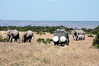 safari game drive with the elephants ,Elephantidae, in the bush of the masai reserve in kenya africa
