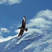 """A brown """"subantarctic"""" skua fies above snow covered mountains near Jones Sound, Antarctic Peninsula, Antarctica."""