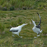 A pair of Wandering Albatrosses engage in a ritual mating dance near the female's nest on Prion Island, Bay of Isles, South Georgia, Antarctica.