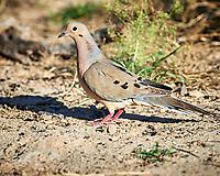 Mourning Dove (Zenaida macroura). Campos Viejos, Texas. Image taken with a Nikon D4 camera and 500 mm f/4 VR lens.