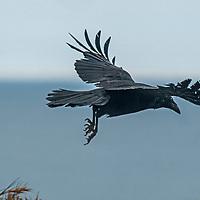 A raven (Corvus corax) flies off a cliff above the Pacific Ocean near Moss  Beach, California.
