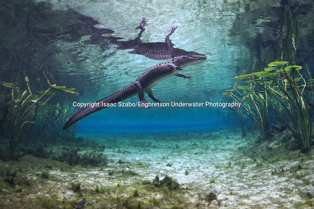 American Alligator<br /> <br /> Isaac Szabo/Engbretson Underwater Photography