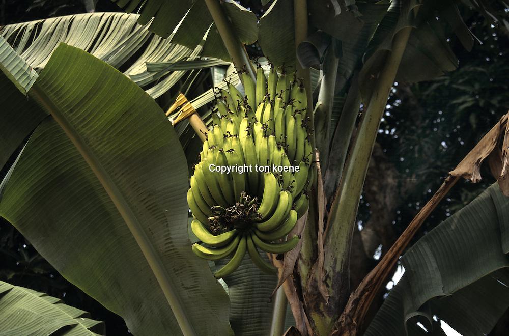 bananas in Uganda