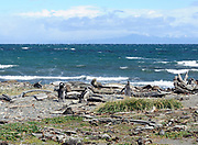 Three Megellanic Penguins (Spheniscus magellanicus) walk towards the sea  on the beach at their nesting colony at Otway Sound. Punta Arenas, Republic of Chile. 16Feb13