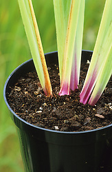 Example of good quality compost in pot. Shows what to look for when buying from a garden centre
