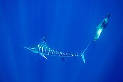 A California Sea Lion, Zalophus californianus, harasses a  striped marlin, Tetrapturus audax, as both species hunt for small fish in open water.  Magdalena Bay, Mexico, Pacific Ocean