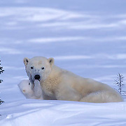 Polar Bear, (Ursus maritimus) Mother with very young cub just leaving winter den. Playing. Churchill, Manitoba. Canada.