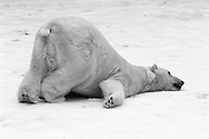 Schweden, SWE, Kolmarden, 2000: Ein Eisbaer (Ursus maritimus) kriecht auf dem Bauch ueber den Schnee, Kolmardens Djurpark. | Sweden, SWE, Kolmarden, 2000: Polar bear, Ursus maritimus, sliding on it's belly on snow, Kolmardens Djurpark. |