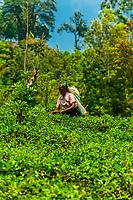 Women picking tea, Udapalatha, Central Province, Sri Lanka.