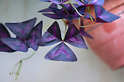 Purple false shamrock (Oxalis triangularis) close up of the Triangular leaf