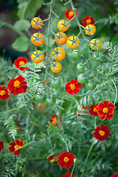 Tagetes linnaeus growing with tomatoes in the greenhouse. African Marigold