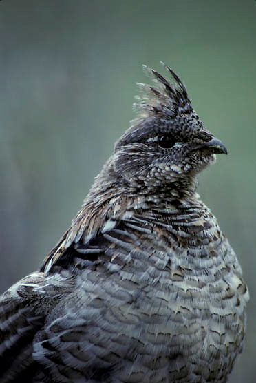 Ruffed Grouse, (Bonasa umbellus) Portrait of male drumming to attract female. Spring.