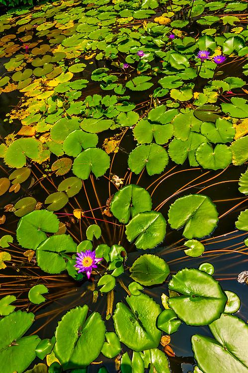 Lily pads, Dambulla Cave Temples, Dambulla, Central Province, Sri Lanka.