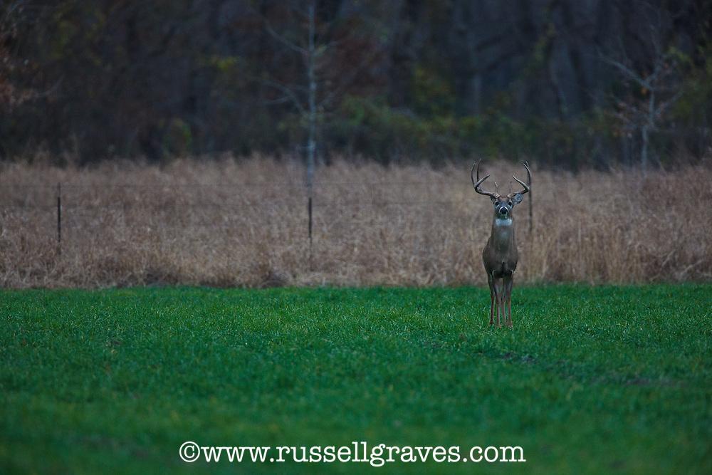 Whitetail buck on a wheat food plot.
