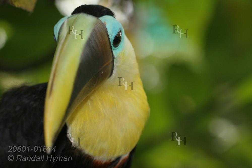 Chestnut-mandibled toucan (Ramphastos ambiguus ambiguus); Las Horquetas, Costa Rica.