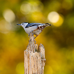 A friendly White-Breasted Nuthatch takes point on an old tree stump backed by warm spring light