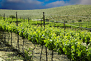 Vinyard on a stormy day
