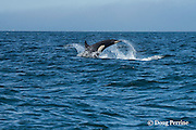 southern resident orca, or killer whale, Orcinus orca, porpoising out of the water, off southern Vancouver Island, Strait of Juan de Fuca, British Columbia, Canada ( Eastern North Pacific Ocean ); #3 in sequence of 4