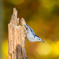 Spring bokeh gives warmth to a Nuthatch on the hunt for a meal in a typical side-perch pose