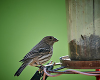 Female House Finch feeding at a bird feeder. Image taken with a Nikon D5 camera and 600 mm f/4 VR lens (ISO 400, 600 mm, f/4, 1/1250 sec)