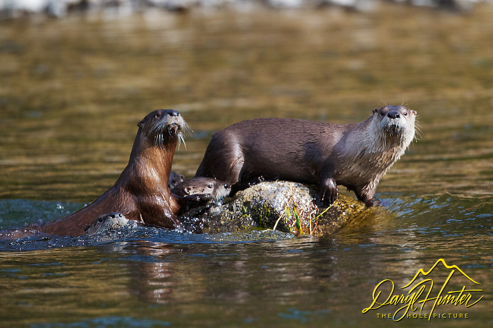 River Otter family, Yellowstone River, Yellowstone National Park
