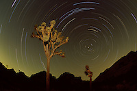 Star trails and Joshua trees at night.  Joshua Tree National Park, CA