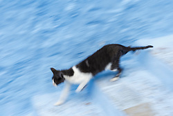 Cat running down blue staircase, Chefchaouen, Morocco