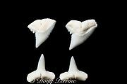 teeth (upper & lower) of whitetip reef shark, Triaenodon obesus