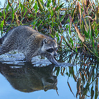 Southeast Florida nature photography of a baby raccoon carefully wading the waters at Wakodahatchee Wetlands located west of Delray Beach in Palm Beach County, FL.  <br /> <br /> Raccons wildlife photography images from the Wakodahatchee Wetlands area are available as museum quality photo prints, canvas prints, wood prints, acrylic prints or metal prints. Fine art prints may be framed and matted to the individual liking and decorating needs:<br /> <br /> https://juergen-roth.pixels.com/featured/raccoon-juergen-roth.html<br /> <br /> All digital nature photo images are available for photography image licensing at www.RothGalleries.com. Please contact me direct with any questions or request.<br /> <br /> Good light and happy photo making!<br /> <br /> My best,<br /> <br /> Juergen<br /> Prints & Licensing: http://www.rothgalleries.com<br /> Instagram: https://www.instagram.com/rothgalleries<br /> Twitter: https://twitter.com/naturefineart<br /> Facebook: https://www.facebook.com/naturefineart