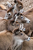 A herd of female White-lipped deer also called Thorold's deer, Cervus albirostris, 白唇鹿, standing at the tibetan plateau in Serxu, Garze Prefecture, Sichuan Province, China