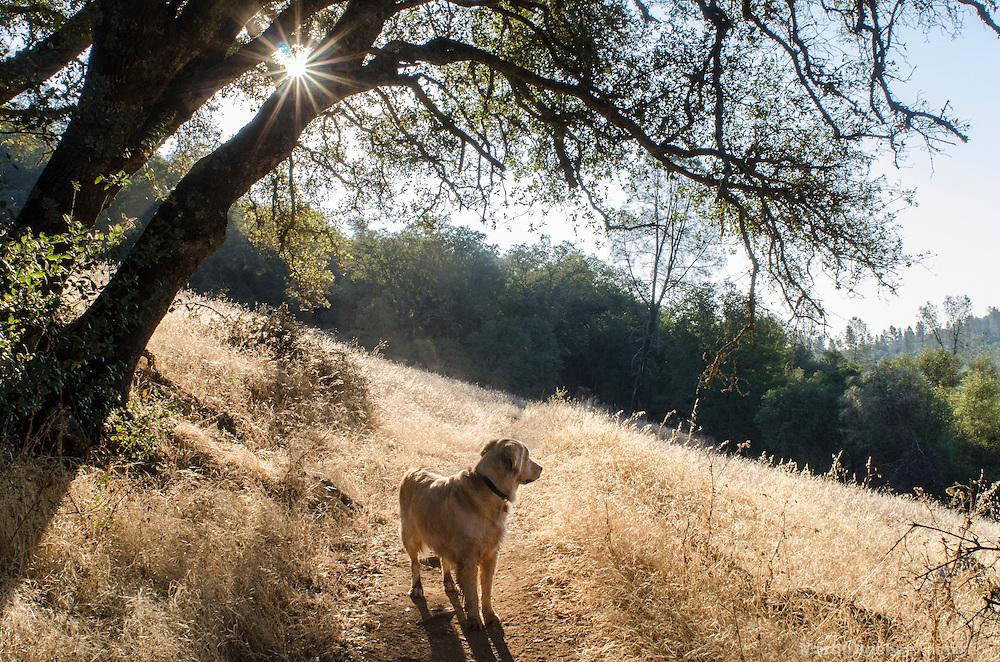 Golden retriever on the trail in the Sierra foothills, California