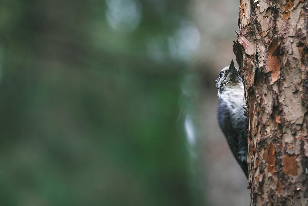 Three-toed woodpecker (Picoides tridactylus) looking for next spot to peck, Gauja National Park, Latvia Ⓒ Davis Ulands | davisulands.com