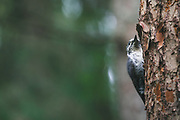 Three-toed woodpecker (Picoides tridactylus) looking for next spot to peck, Gauja National Park, Latvia Ⓒ Davis Ulands | davisulands.com
