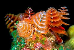 Christmas tree worms, Spirobranchus giganteus, Towanda ( City of Washington ) wreck at night, Key Largo, Florida Keys National Marine Sanctuary, Atlantic Ocean