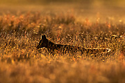 A young red fox (Vulpes vulpes) kit is rendered in near silhouette as it attempts to hide among the tall grass in San Juan Island National Historical Park on San Juan Island, Washington. This young kit is black, although all of the foxes in the park are technically red foxes, regardless of their color. Red foxes were introduced to San Juan Island on various occasions in the 1900s.