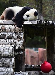 CHANGCHUN, Oct. 4, 2016 (Xinhua) -- Giant panda ''Meng Meng'' sleeps at the panda hall of Siberian Tiger Park in Changchun, northeast China's Jilin Province, Oct. 4, 2016. Giant pandas ''Meng Meng'' and ''Jia Jia'' attracted a large number of tourists during the National Day holiday. (Xinhua/Lin Hong)(mcg) (Credit Image: © Lin Hong/Xinhua via ZUMA Wire)