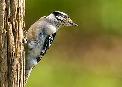 This little Hairy Woodpecker decided to give me a little side pose before flying away