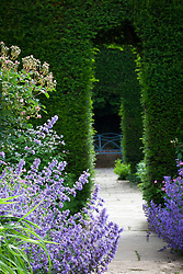 Nepeta (Catmint) in The Old Garden at Hidcote Manor. View through yew hedge arches to blue seat. Taxus baccata