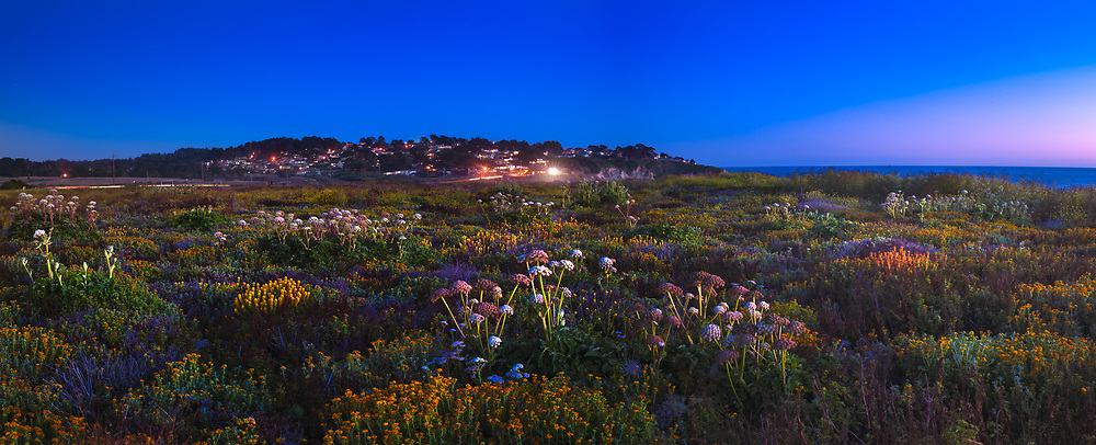 Coastal flowers adorn the bluffs above Montara Beach, cast in a bluish hue after sundown. Montara. San Mateo County. CA