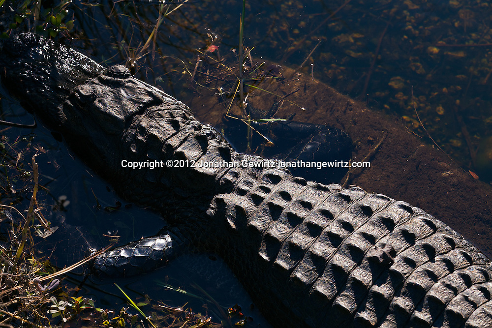An American alligator (Alligator mississippiensis) basks in a canal in the Shark Valley section of Everglades National Park, Florida. WATERMARKS WILL NOT APPEAR ON PRINTS OR LICENSED IMAGES.