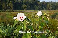 63899-05320 Rose Mallow (Hibiscus lasiocarpos)) in wetland, Marion Co., IL