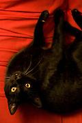 Sao Paulo_SP, Brasil...Detalhe de um gato preto (Felis silvestris catus)...A black cat (Felis silvestris catus) detail...Foto: MARCUS DESIMONI / NITRO
