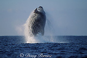 humpback whale, Megaptera novaeangliae, breaching, Hawaii Island, #4 in sequence of 9; caption must include notice that photo was taken under NMFS research permit #587