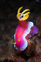 Magnificent vibrant colors serve as a warning that this Hypselodoris apolegma nudibranch is likely to be an unpleasant meal for any would be predator.