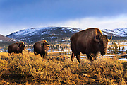 Bison at sunset in Yellowstone National Park.
