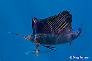 Atlantic sailfish, Istiophorus albicans (considered by some to be a single species with Istiophorus platypterus ), lit up with bright blue markings that indicate excitement, Yucatan Peninsula, Mexico ( Caribbean Sea )