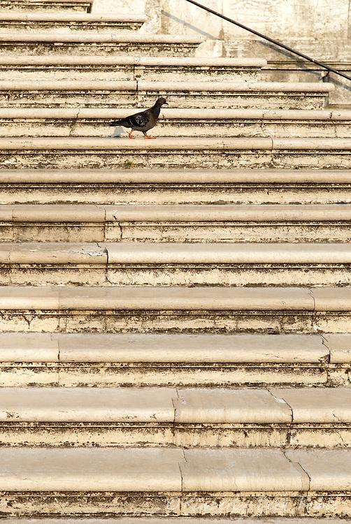 Pigeon walking across the marble staircase entrance to the Basilica di Santa Maria della Salute in Venice, Italy.