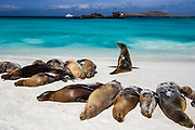 Galapagos sea lions are among the most conspicuous of marine mammals in the islands.