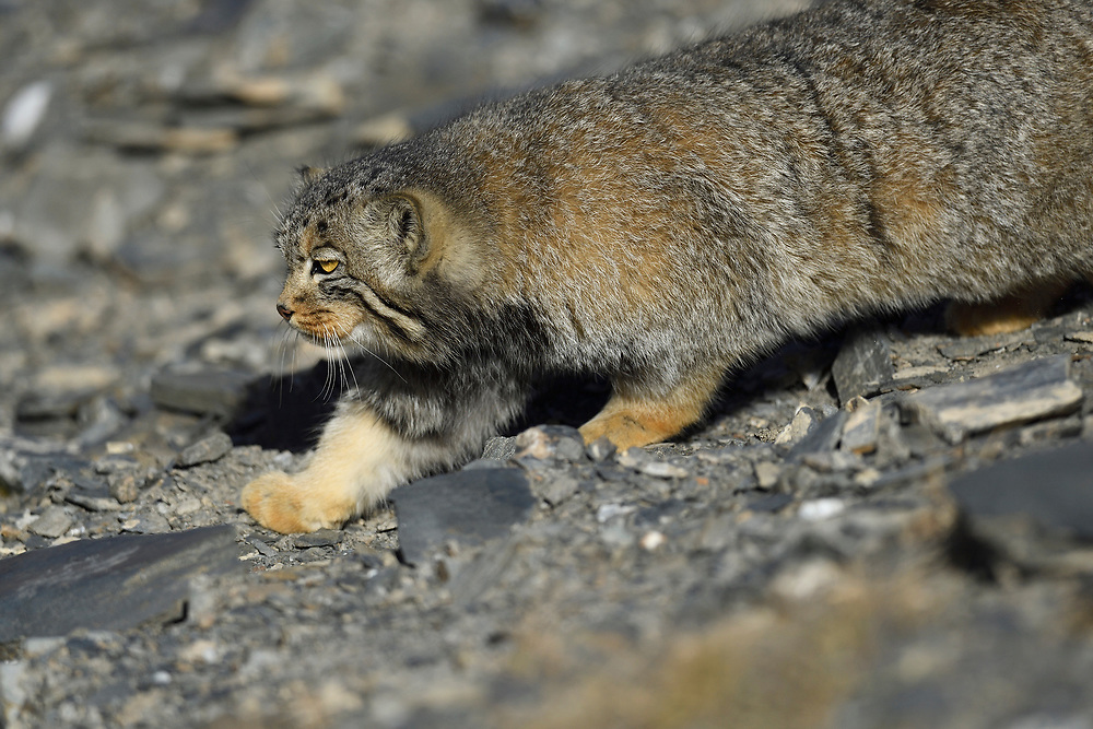 Pallas's cat (Otocolobus manul), also called the manul, sneaking around in a mountain landscape, Tibetan Plateau 5000 m asl, Qinghai, China