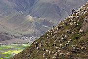 Villagers tend to a flock of sheep near a monastery in the Tibetan Plateau.